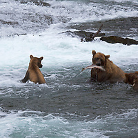 USA, Alaska, Katmai. Grizzly sow catches salmon as her three first-year cubs watch and learn at Brooks Falls, Katmai National Park.