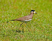 Yellow wattled lapwing walking across open ground, Yala National Park, Sri Lanka