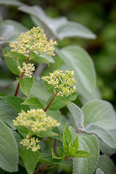 Hydrangea paniculata 'Little Lime' syn. 'Jane' - flower colour when just emerging
