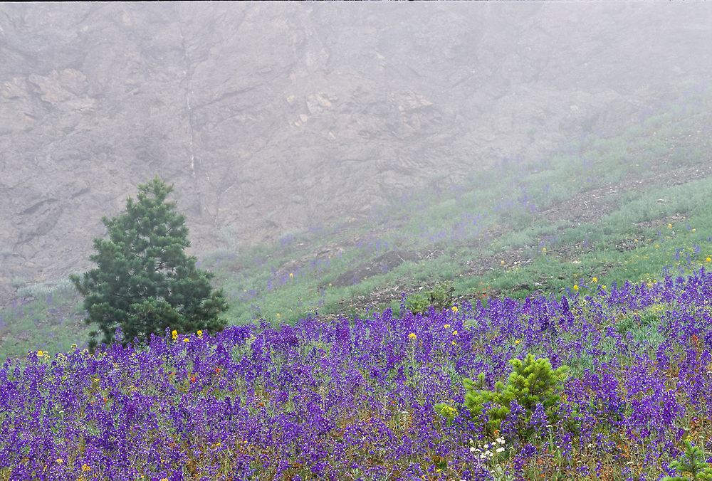 Field of larkspur at the base of Steeple Rock, summer, Olympic National Park, Washington, USA