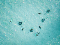 Aerial view of mantas and sharks swimming in the transparent sea of Moorea Island in French Polynesia.