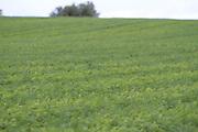 Carrot, field, root, crop