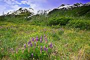 Alaska, Denali National Park, Lupine flowers growing wild.