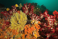 A rich coral reef covered in soft corals, crinoids, and tunicates.