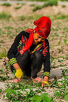 Beautifully dressed Uyghur women weeding a melon field, Hanirnk, near the Dawakul Desert, south route of the ancient Silk Road, between Kashgar and Yarkand,  Xinjiang Province, China.Uyghur people are a Central Asian people of Muslim Turkic origin. They are China's largest minority group.