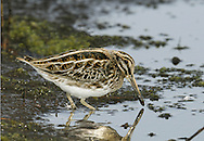 Jack Snipe Lymnocryptes minimus L 18-20cm. Dumpy wader. Much smaller than Snipe, with shorter bill and legs, and more striking head and back markings. Pumps body up and down as it walks. Easy to overlook: plumage is cryptic and bird is very reluctant to fly. Sexes and ages are similar. Adult and juvenile have mainly brown upperparts with intricate, cryptic dark feather markings. Note striking yellow stripes on back; greenish sheen sometimes discerned. Head is has dark and pale buff stripes, including forked, pale supercilium. Neck and breast are streaked and underparts are white. Voice Mostly silent. Status Non-breeding visitor in small numbers. Favours muddy margins of pools and marshes, where tangled dead rush and grass stems match its cryptic plumage.