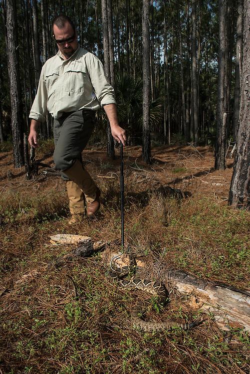 Eastern Diamondback Rattlesnake (Crotalus adamanteus)<br /> Little St Simon's Island, Barrier Islands, Georgia<br /> USA<br /> RANGE: Southeastern United States.<br /> Venomous pitviper.<br /> It is the heaviest venomous snake in the Americas and the largest rattlesnake.