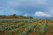 Sisal (Agave sisalana))<br /> South Madagascar<br /> MADAGASCAR<br /> grown as cash crop mostly for making rope