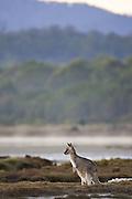 Eastern Grey Kangaroo (Macropus giganteus) - Tasmania