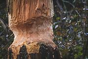 Castor fiber gnawings, Photo by Davis Ulands | davisulands.com