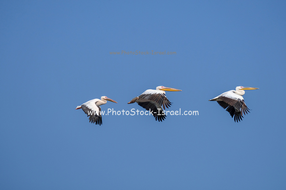 A flock of Great White Pelican, (Pelecanus onocrotalus) in flight. This bird, also known as the eastern white pelican, lives in large colonies in Africa and Eurasia. It feeds almost exclusively on fish which it catches by plunging its large bill into the water. It may reach a length of up to 180 centimetres, with a wingspan of almost four metres. Photographed in Israel in September