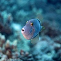 Barred Filefish, Cantherhines dumerilii, (Hollard, 1854), Maui Hawaii