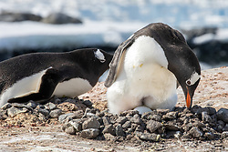 Gentoo Penguin With Eggs At The Penguin Post Office, Port Lockroy, Antarctica