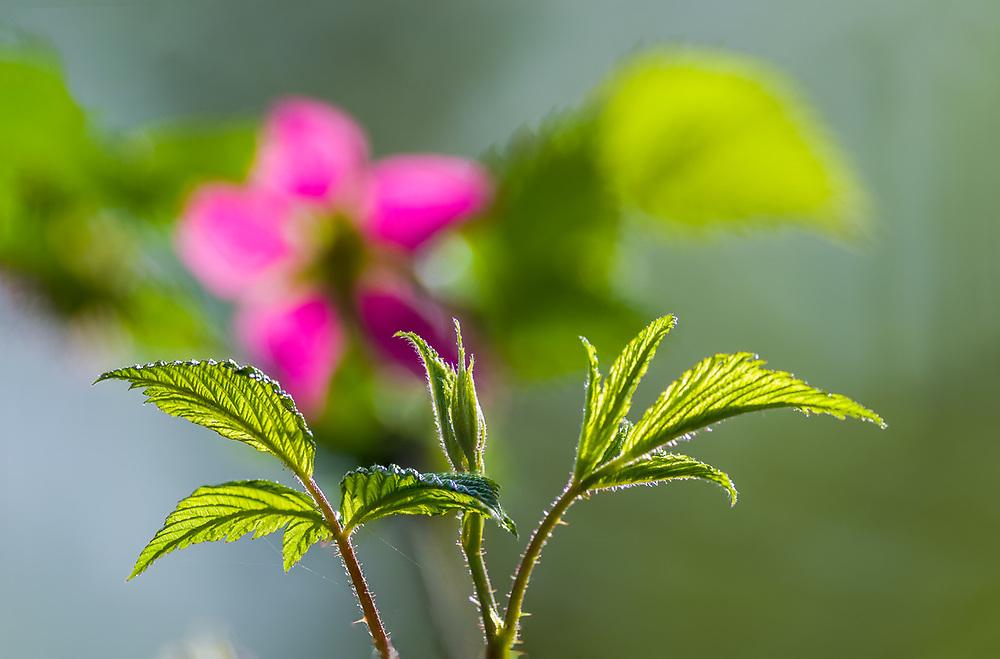 Salmonberry flower (Rubus spectabilis), April, lowland forest, Olympic Peninsula, Washington, USA