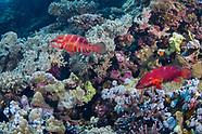 Coral hind (Cephalopholis miniata)