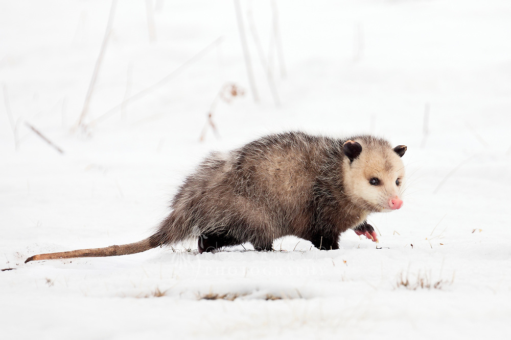 Opossumly adorable! I actually think they're pretty cute — look at that pink nose. I spotted her walking slowly and very gingerly through the snow, finally disappearing down a hole. I usually don't see possums during the daylight, but after the past two -25+ degree nights, she smartly came out to forage when it was warmer.