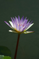 Water Lily, Purple #14