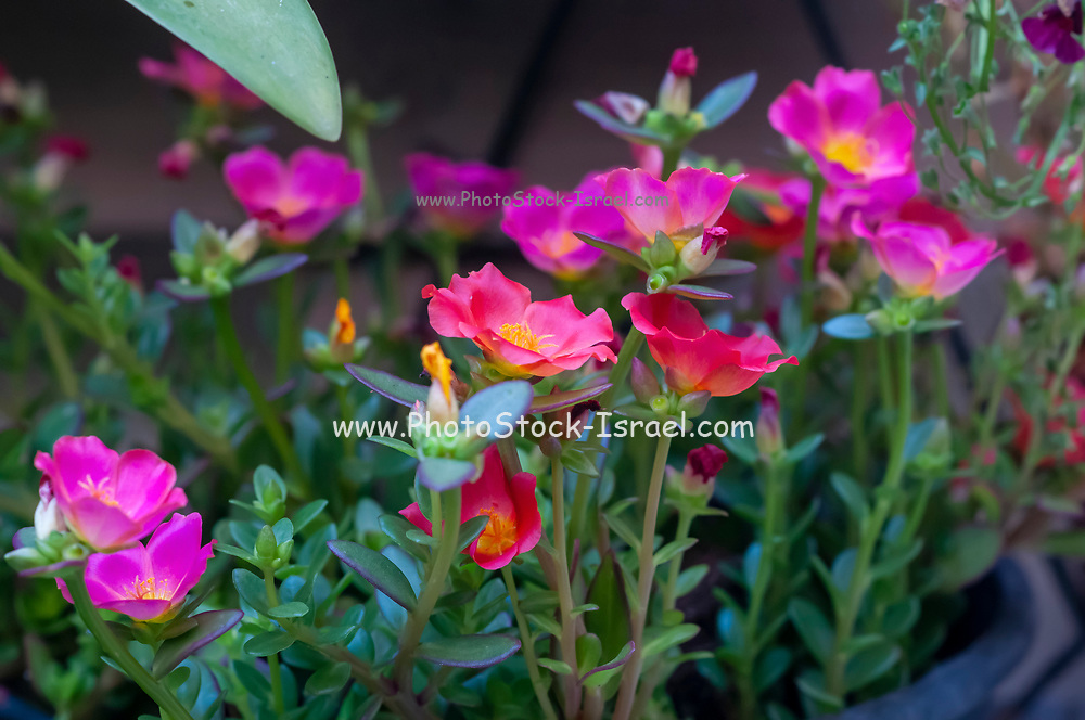 Sun plant (Portulaca). Closeup of pink and orange flowers. in  a garden. Photographed in Israel in July