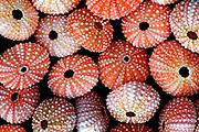 Sea urchins, New Zealand