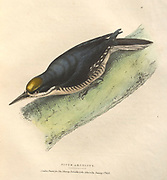black-backed woodpecker (Picoides arcticus syn Picus arcticus) , color plate of North American birds from Fauna boreali-americana; or, The zoology of the northern parts of British America, containing descriptions of the objects of natural history collected on the late northern land expeditions under command of Capt. Sir John Franklin by Richardson, John, Sir, 1787-1865 Published 1829