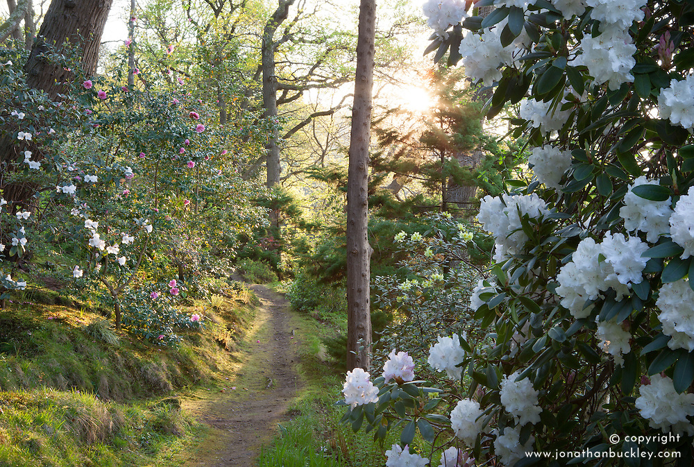 Path through woodland at Greencombe garden in evening light with Rhododendron 'Loder's White' AGM in the foreground
