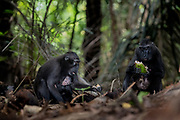 Crested Black macaques (Macaca nigra) feeding from fruits and seeds on the dark forest floor in Tangkoko Nature Reserve, northern Sulawesi, Indonesia.