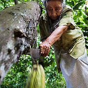 Doña Demetria carefully places her rod against the stem of the fruit and with a swift cutting movement separates the pod from the trunk. Tapachula. Mexico.
