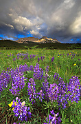 Lupine Blooms on the Rocky Mountain Front.