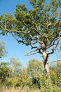 Sweet Chestnut Tree, Castanea sativa, Ranscombe Farm Nature Reserve, Kent UK, native to Mediterranean possibly introduced to UK by Romans, tall standing, blue sky background