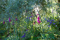 Gladiolus communis subsp. byzantinus and aquilegia in the shade of a willow at Glebe Cottage