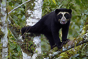 Spectacled or Andean Bear (Tremarctos ornatus)  WILD adult female.<br /> Maquipucuna Foundation Cloud Forest Reserve.<br /> Andes. ECUADOR.  South America<br /> Range: Found in a narrow strip from W. Venezuela to the Andes of Colombia, Ecuador, Peru, Bolivia and northern Argentina.<br /> ENDANGERED (CITES 1)<br /> Spectacled bears are the only bears found in South America. They are vulnerable due to fragmented habitat loss from farming. Although illegal some are still hunted.<br /> They are timid animals and usually run away from people. There are no known attacks on humans. Generally they are solitary but sometimes several are found together in corn fields, fruiting trees or scavenging on a carcass.