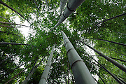 looking up to the canopy of a bamboo forest