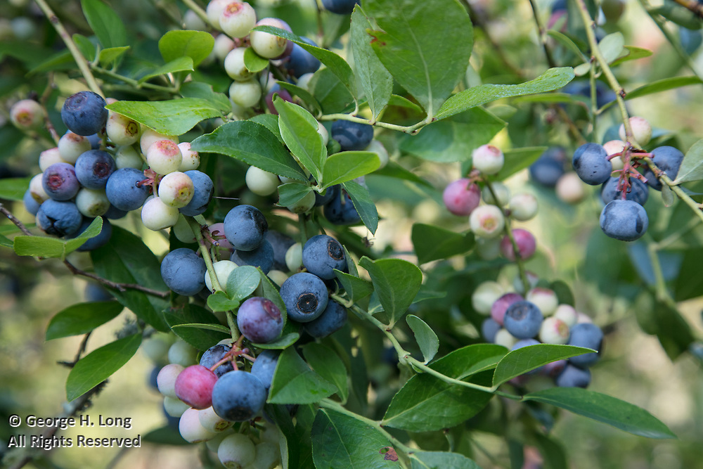 Blueberries at Sunhillow Berry Farm near Pearl River, Louisiana