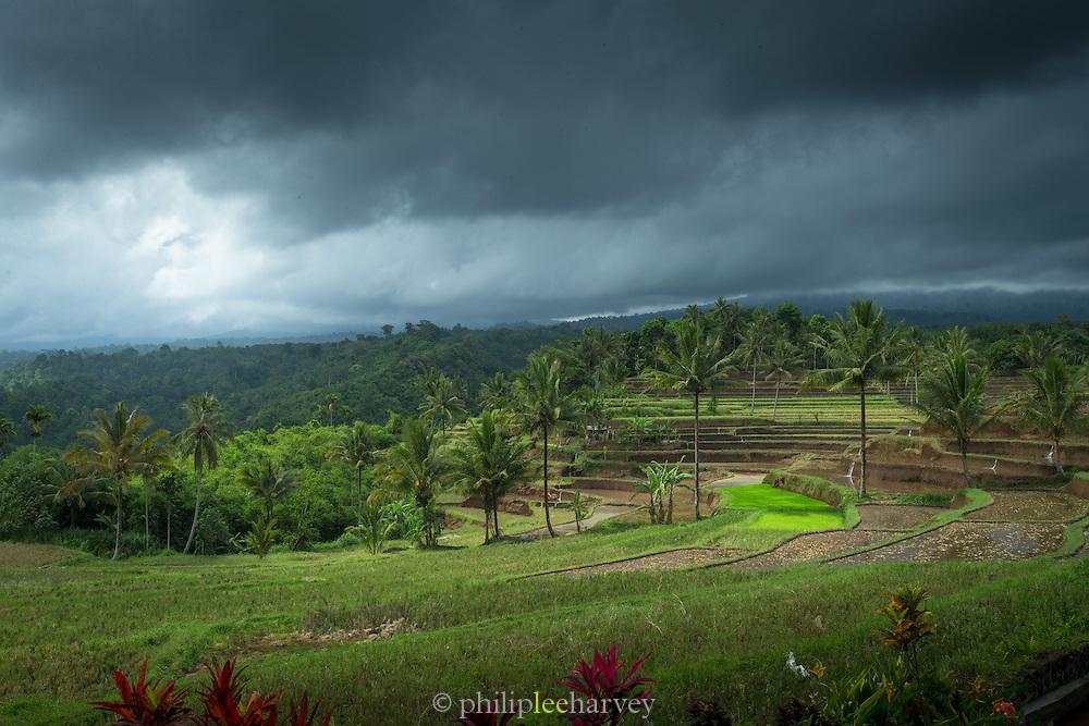 Terraced Paddy fields, Banyuwangi, East Java, Indonesia, Southeast Asia