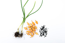 Cut out of young onion plants, onion seed and onion sets
