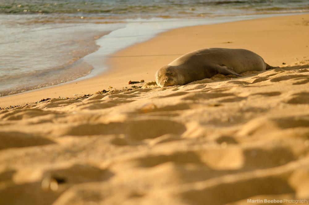 Endangered Hawaiian Monk Seal (Monachus schauinslandi) resting at Tunnels Beach, Kauai, Hawaii