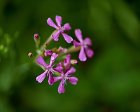 Small Pink Wildflower. Image taken with a Fuji X-H1 camera and 80 mm f/2.8 macro lens