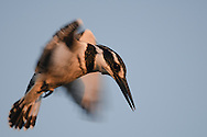 Pied king-fisher, Ceryle rudis, hovering at sunrise, over a fish pond at Maagan michael