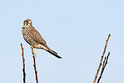Common Kestrel (Falco tinnunculus) is a bird of prey species belonging to the kestrel group of the falcon family Falconidae Israel Winter January 2007