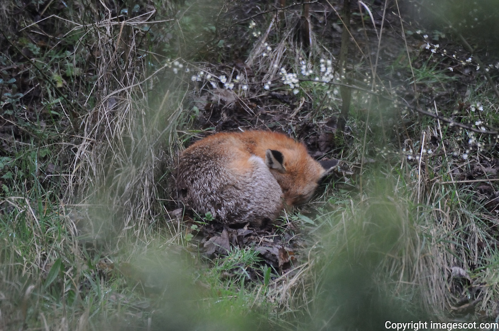 Fox sleeping<br /> *ADD TO CART FOR LICENSING OPTIONS*