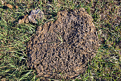 Cow Pie ( Dung )