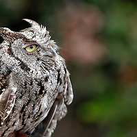 USA, California, San Diego. Desert Great Horned Owl, immature.