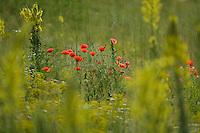 Denseflower mullein, Verbascum densiflorum, and Corn Poppy, Papaver rhoeas, Großbluetige Koenigskerze und Klatschmohn, near Nikopol, Bulgaria