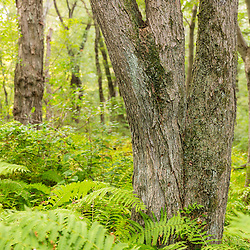 Trees and ferns in a forest on Sagamore Hill in Hamilton, Massachusetts.