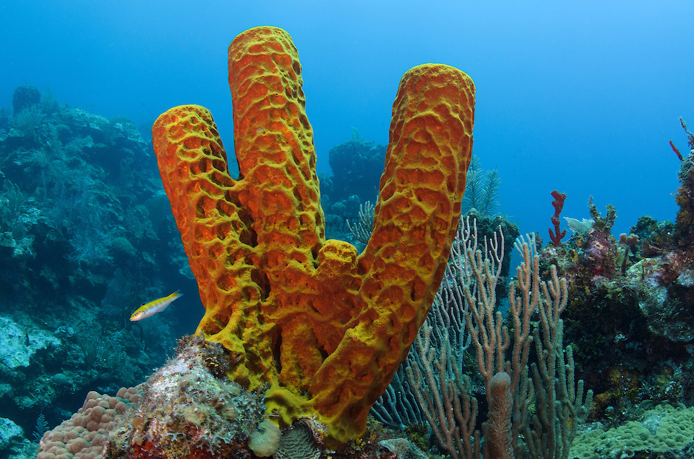 Convoluted Barrel Sponge (Aplysina lacunosa)<br /> Hol Chan Marine Reserve<br /> near Ambergris Caye and Caye Caulker<br /> Belize<br /> Central America