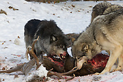 Gray wolves fight over a deer carcass in wooded winter habitat.