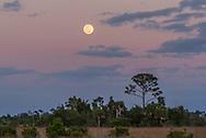 The full moon rises above the slash pine prairie at Big Cypress National Preserve in Florida.
