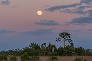 The full moon rises above the slash pine prairie at Big Cypress National Preserve in Florida.