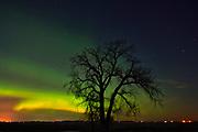 Northern lights (Aurora borealis)  and plains cottonwood<br />Grande Pointe<br />Manitoba<br />Canada