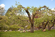 The apple orchard is part of the original homesteading property.